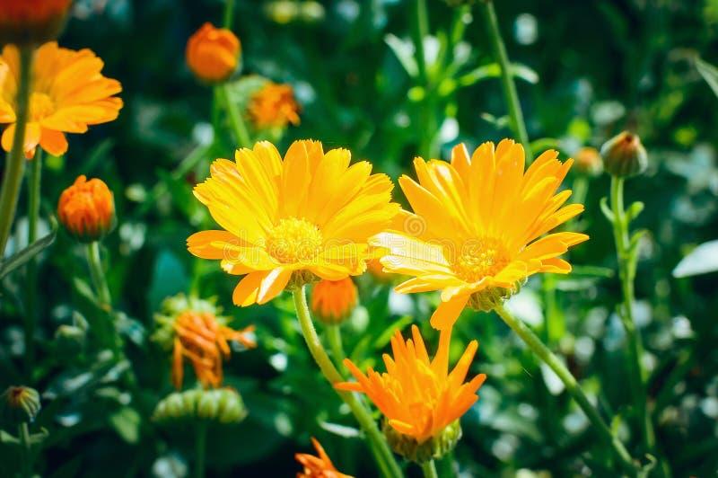 Officinalis de Calendula de fleur de plante médicinale ethnoscience photographie stock