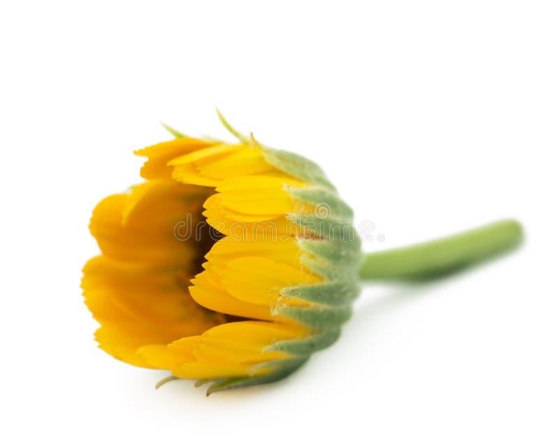 Officinalis de Calendula de Calendula de fleurs, souci de jardin, souci anglais Herbe médicinale Foyer sélectif image libre de droits