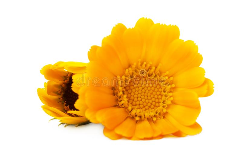 Officinalis de Calendula de Calendula de fleurs, souci de jardin, souci anglais Herbe médicinale Foyer sélectif photos libres de droits