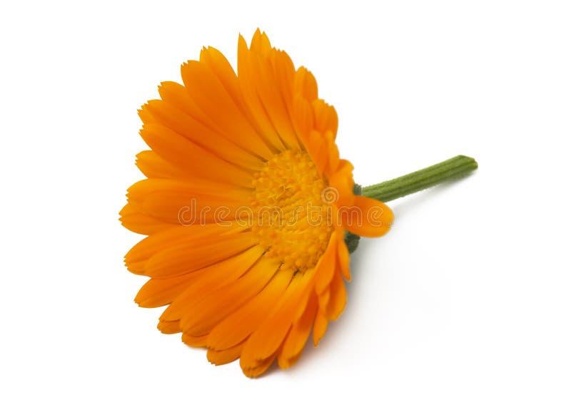 Officinalis de Calendula de Calendula de fleurs, souci de jardin, souci anglais Herbe médicinale Foyer sélectif image stock