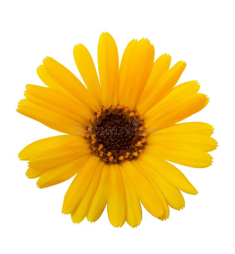 Officinalis de Calendula de Calendula de fleurs, souci de jardin, souci anglais Herbe médicinale Foyer sélectif photos stock