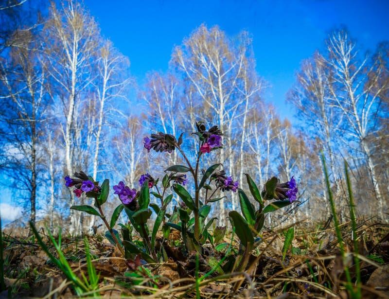 Officinalis de Pulmonaria Flor de Snowdrop imagen de archivo
