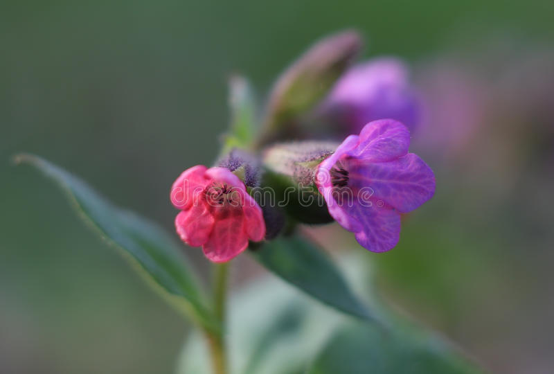 Officinalis de Pulmonaria (lungwort) foto de archivo