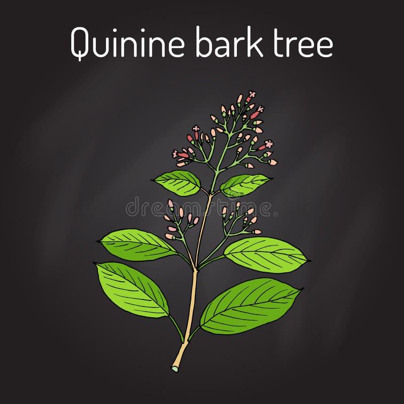 Officinalis de quinquina d'arbre d'écorce de quinine, plante médicinale illustration stock