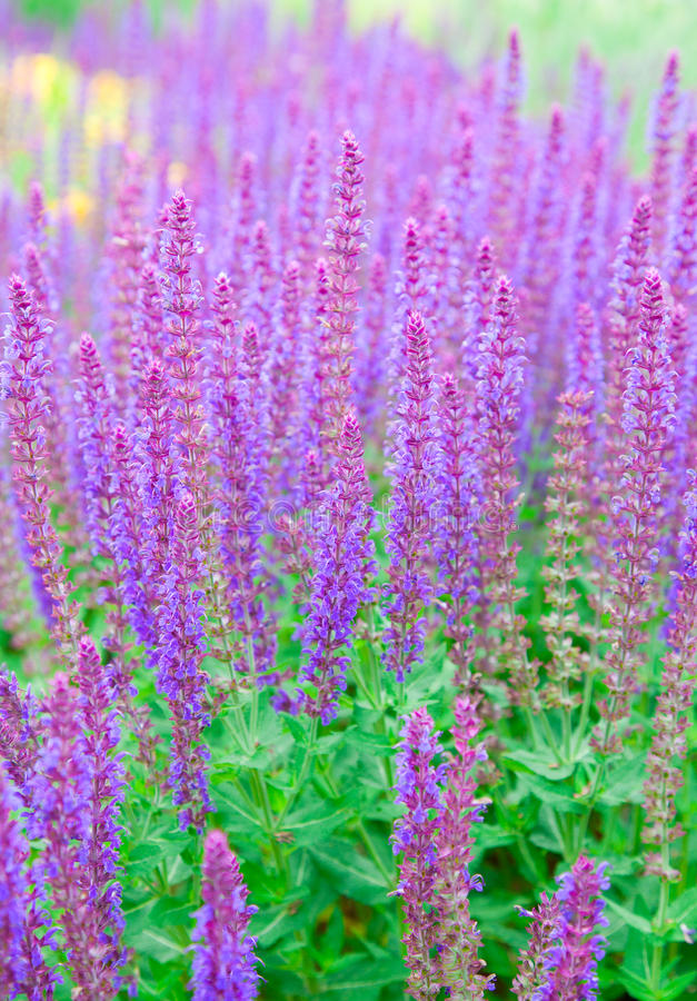 Officinalis de Salvia imagem de stock royalty free