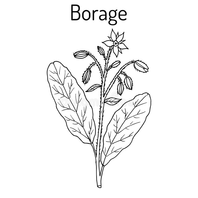Officinalis del Borago de la borraja, o planta del starflower, culinaria y medicinal libre illustration