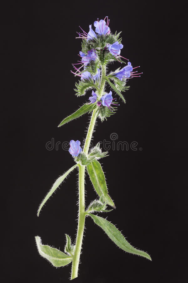 Officinalis del Borago de la planta de la borraja aislados en el fondo blanco fotografía de archivo libre de regalías