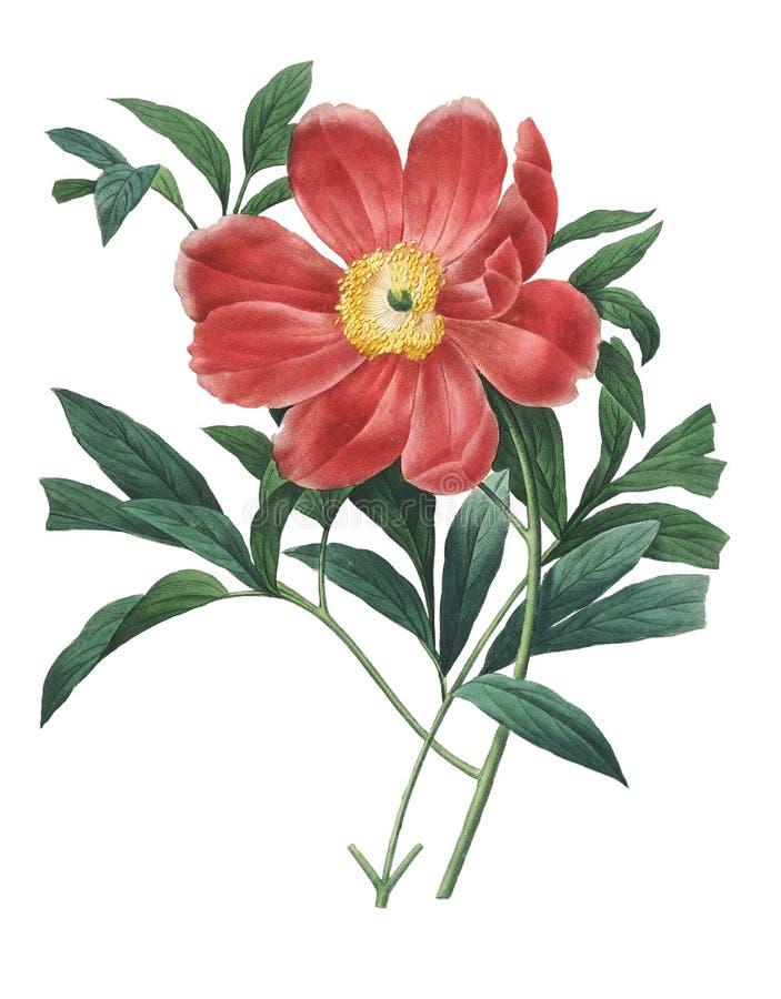 Officinalis del Paeonia   Ejemplos de la flor de Redoute stock de ilustración