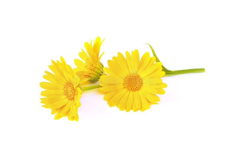 Officinalis do calendula do amarelo alaranjado com folha Flor do cravo-de-defunto, cravo-de-defunto do jardim, erva medicinal, is foto de stock royalty free