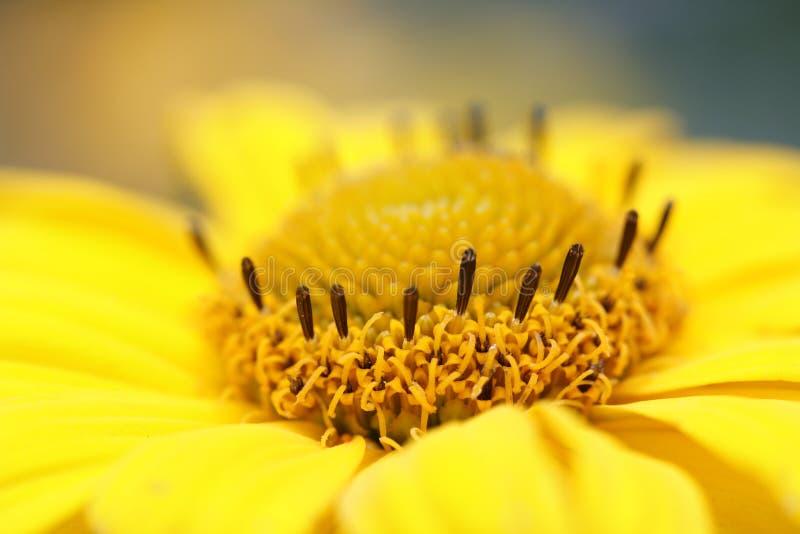 Officinalis do Calendula - marigold de potenciômetro. foto de stock royalty free