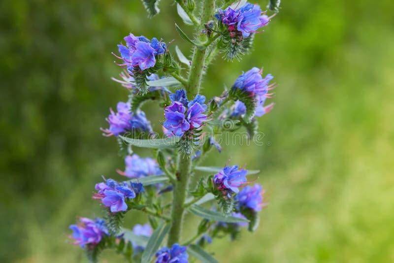 Officinalis do Hyssopus do ramo da flor do Hyssop no campo imagens de stock