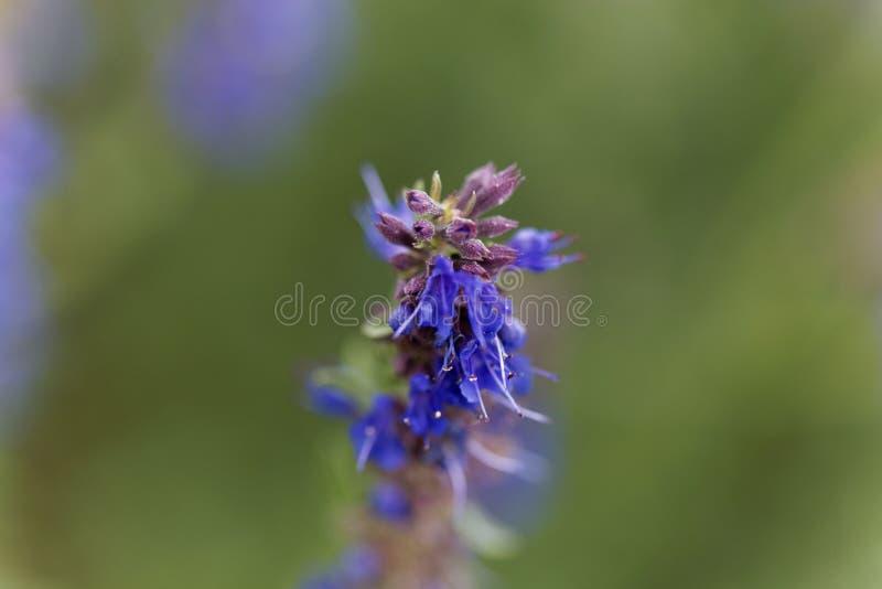 Officinalis Hyssopus λουλουδιών Hyssop στοκ φωτογραφίες με δικαίωμα ελεύθερης χρήσης