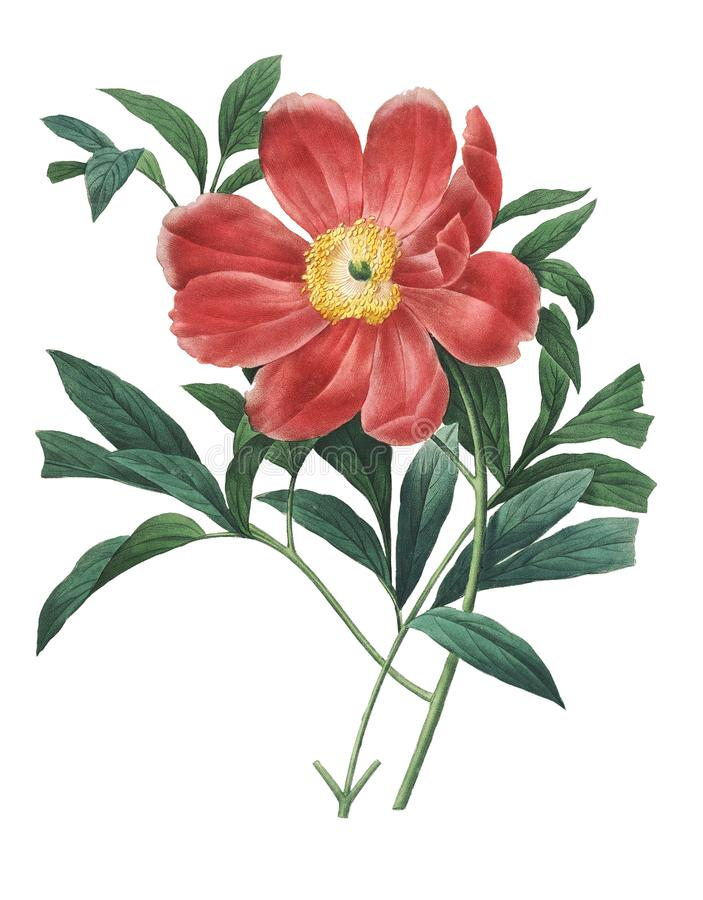 Officinalis Paeonia   Απεικονίσεις λουλουδιών Redoute απεικόνιση αποθεμάτων