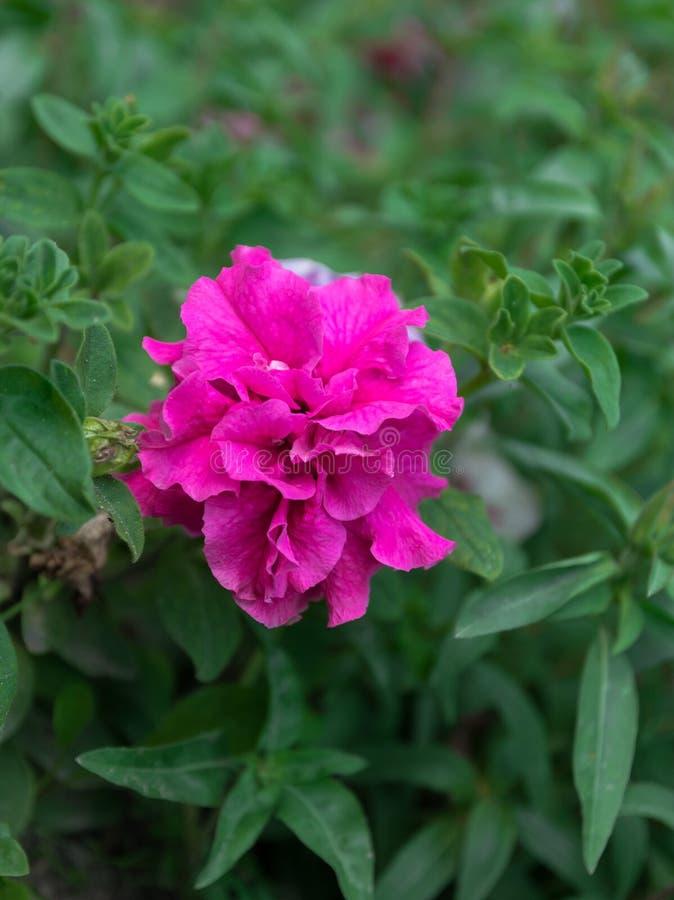 Officinalis rossi di Paeonia, peonia comune, peonia del giardino fotografia stock libera da diritti