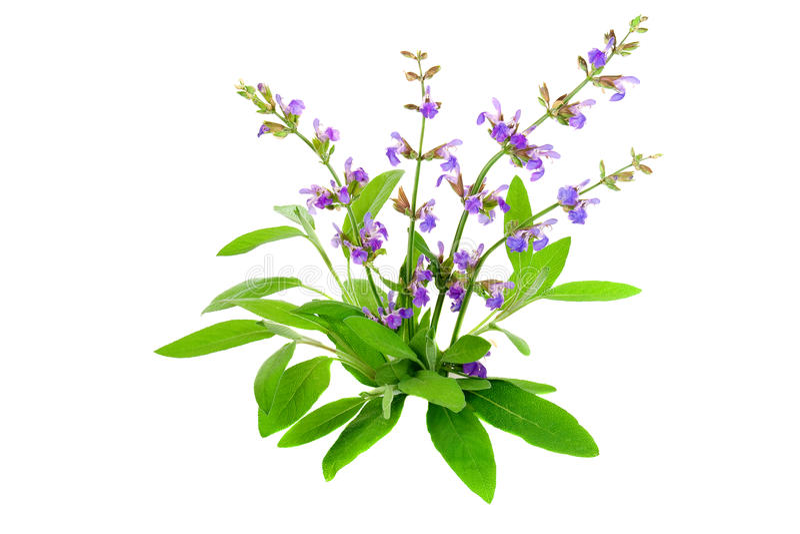 Officinalis van Salvia royalty-vrije stock foto