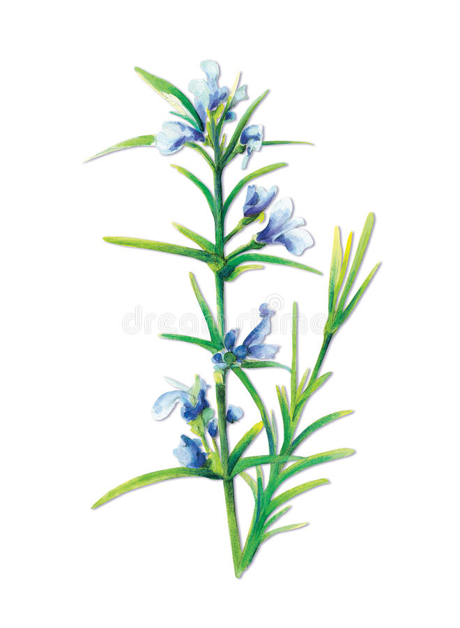 officinalisvis mansalvia royaltyfri illustrationer