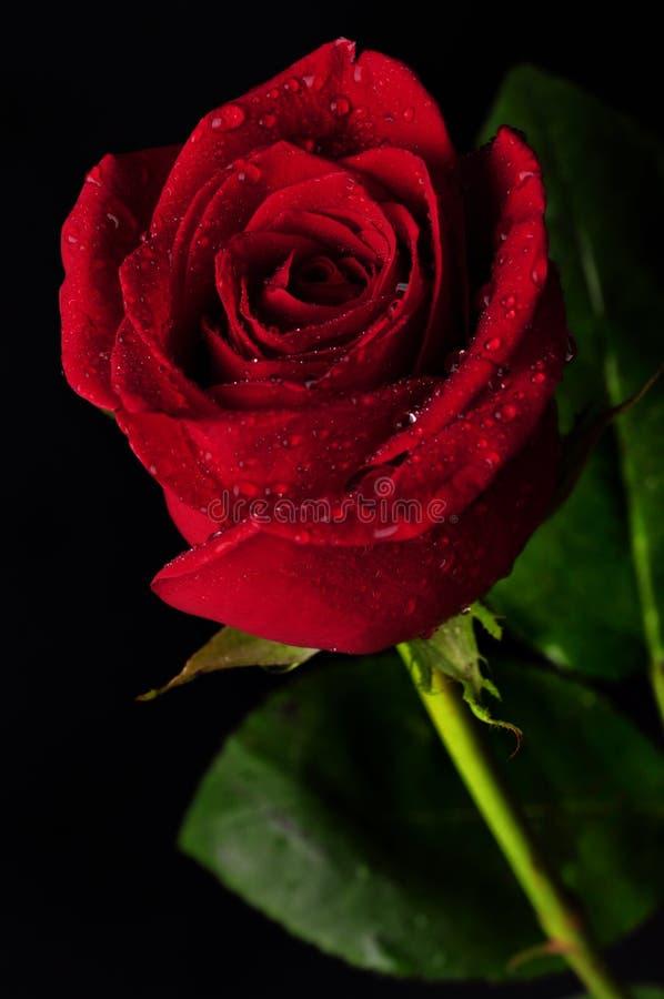 Offre de rose de rouge image stock