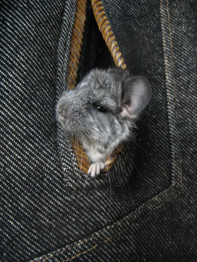Little gray newborn chinchillas look out of coat pocket royalty free stock photo