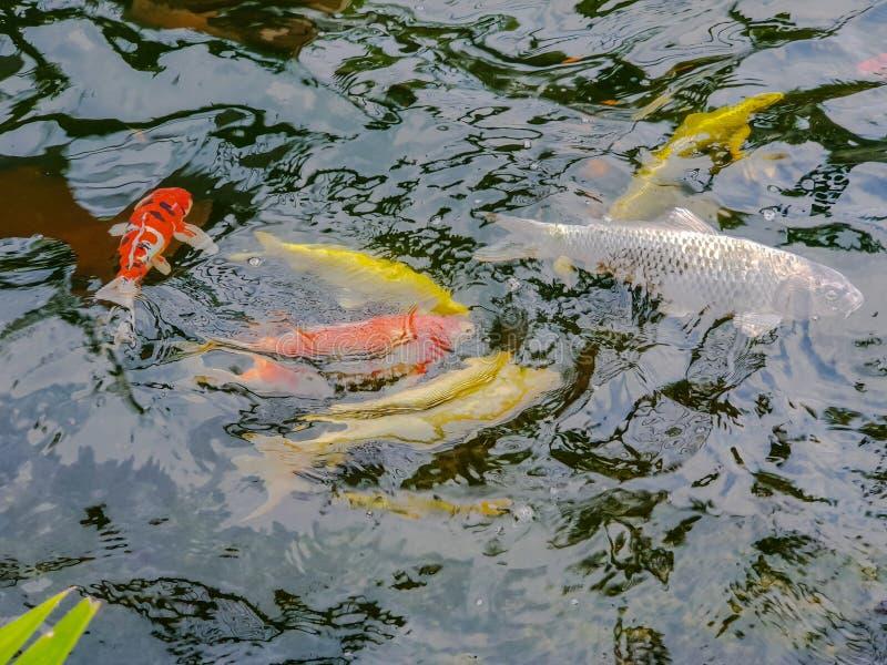 Offuschi le carpe variopinte o carpe o carpe a specchi operate che nuotano nello stagno fotografia stock libera da diritti