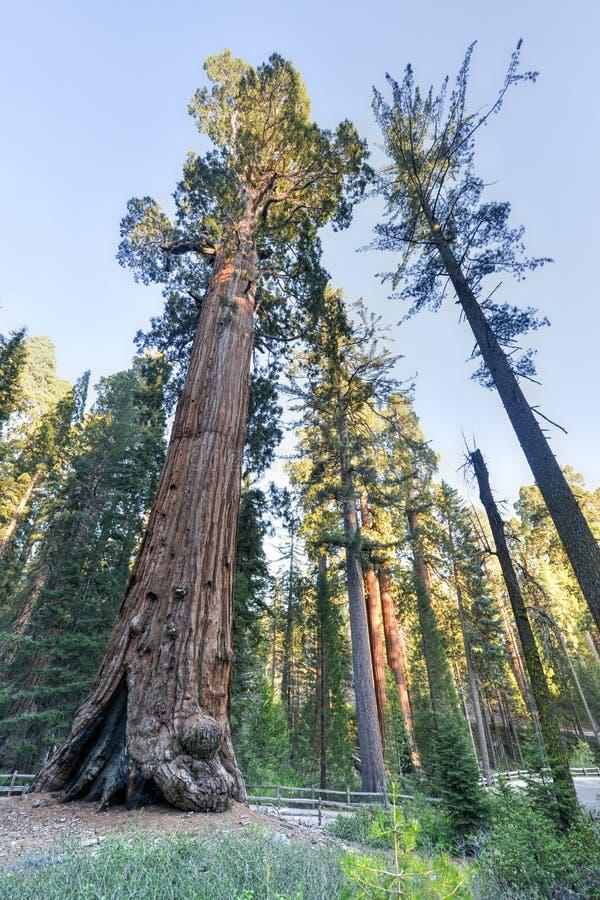 Ogólnego Grant sekwoi drzewo, królewiątko jaru park narodowy zdjęcie royalty free