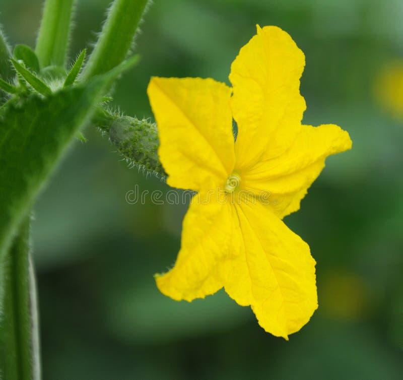Ogórkowy kwiat zdjęcia stock
