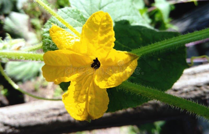 Ogórkowy kwiat z malutkimi pluskwami zdjęcie stock