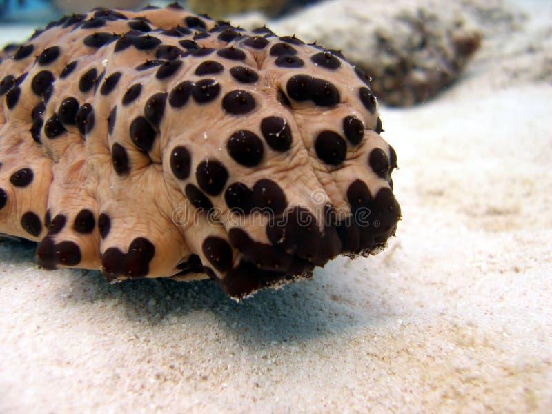 ogórkowy morze obrazy stock