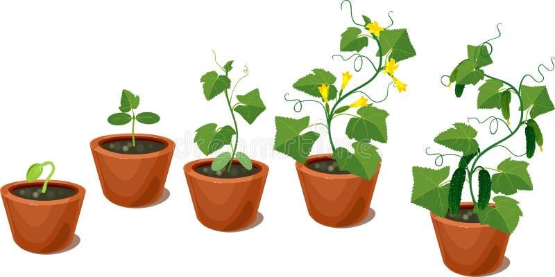 Ogórkowy roślina wzrostowy cykl ilustracji