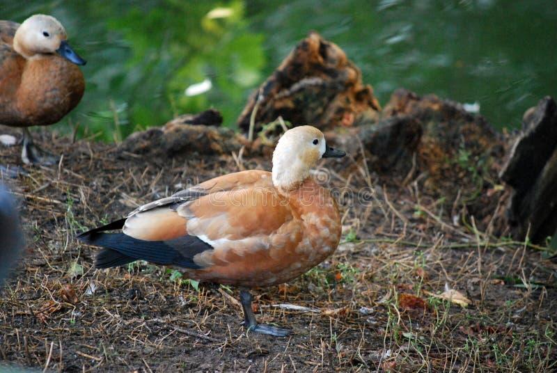 Ogar或者红色鸭子拉丁雄麻鸭类ferruginea的—家庭鸭子水鸟,与peganka有关 库存图片