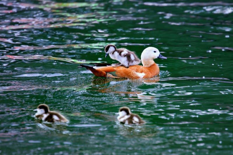 Ogar oder Ruddy Shelduck mit den Entlein, die im Teich schwimmen stockbilder