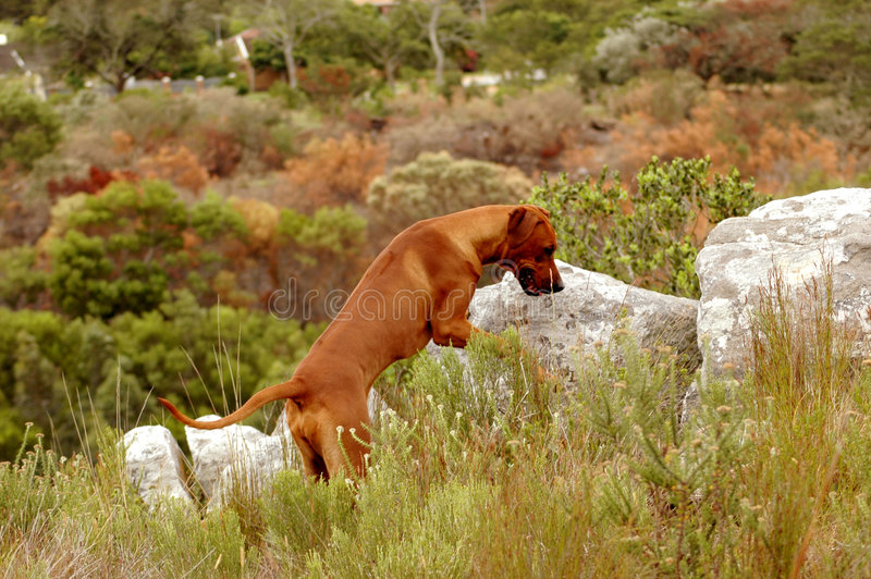 Ogara pies obrazy stock