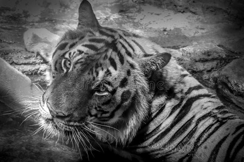Download Ogen van de tijger stock afbeelding. Afbeelding bestaande uit nave - 54081275