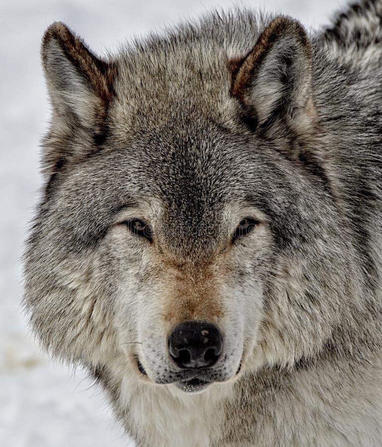 Ogen van de Wolf stock fotografie