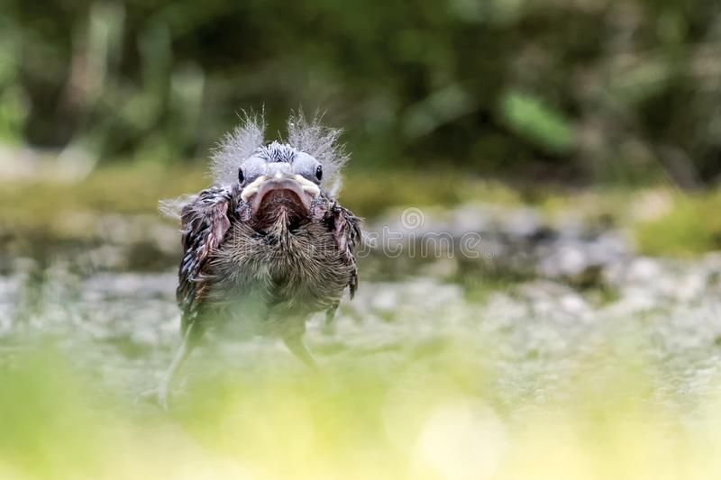 Ogenblikken van de baby de hoofdvogel nadat hij zijn vogelsnest verliet royalty-vrije stock afbeeldingen