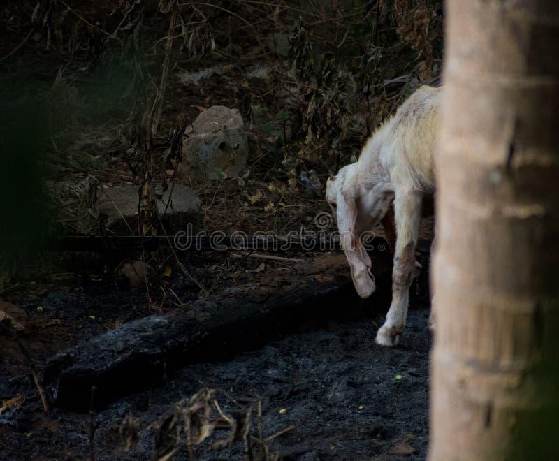 Ogenblikken van een geit stock afbeelding