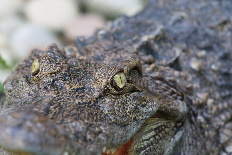 Ogenkrokodillen in de de dierentuinachtergrond en textuur stock fotografie