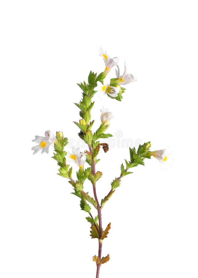 Ogentroost (Euphrasia-officinalis) stock afbeelding