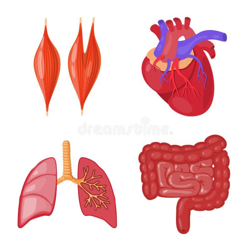 Oggetto isolato del simbolo dell'organo e di anatomia Raccolta di anatomia e dell'illustrazione di riserva medica di vettore royalty illustrazione gratis