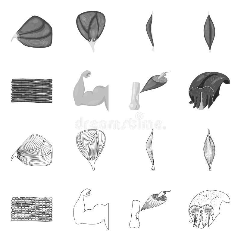 Oggetto isolato di fibra e del logo muscolare Metta dell'icona di vettore del corpo e della fibra per le azione royalty illustrazione gratis
