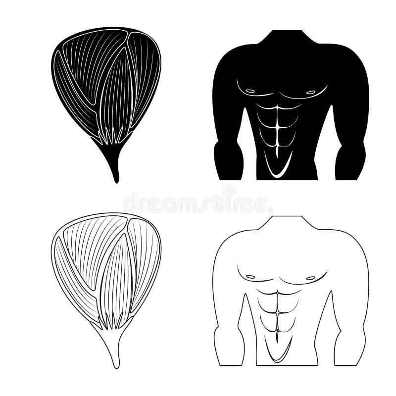 Oggetto isolato di fibra e dell'icona muscolare Raccolta dell'illustrazione di vettore delle azione del corpo e della fibra illustrazione vettoriale