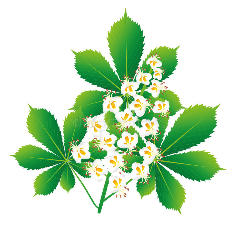 Oggetto isolato fiore della castagna d'India royalty illustrazione gratis