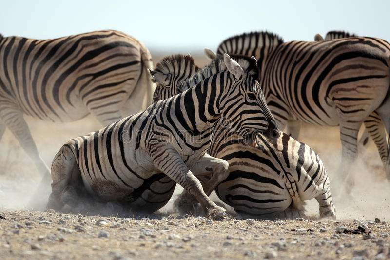 ogier walcząca zebra fotografia stock
