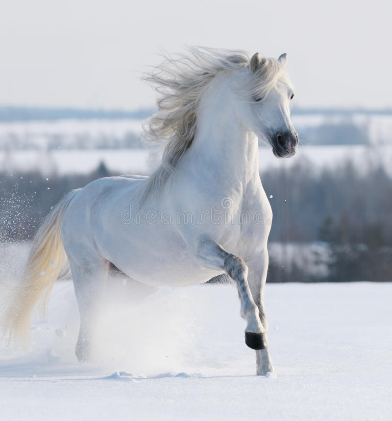 Ogiera Biały Cwałowanie Zdjęcie Royalty Free