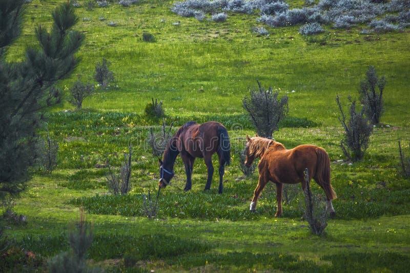 Ogiera i klacza konie chodzi w zielenieją pole na gospodarstwie rolnym zdjęcia royalty free