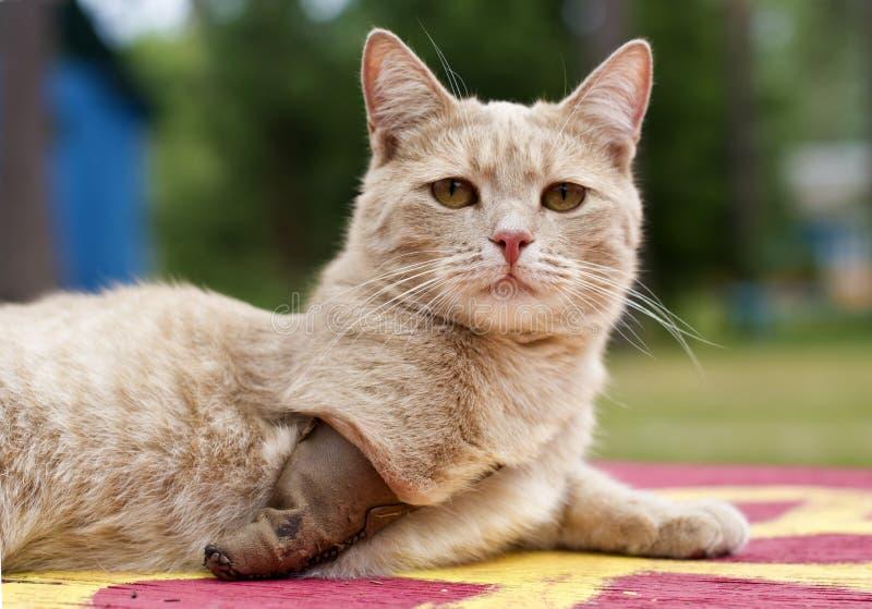 ogiltig katt arkivbild