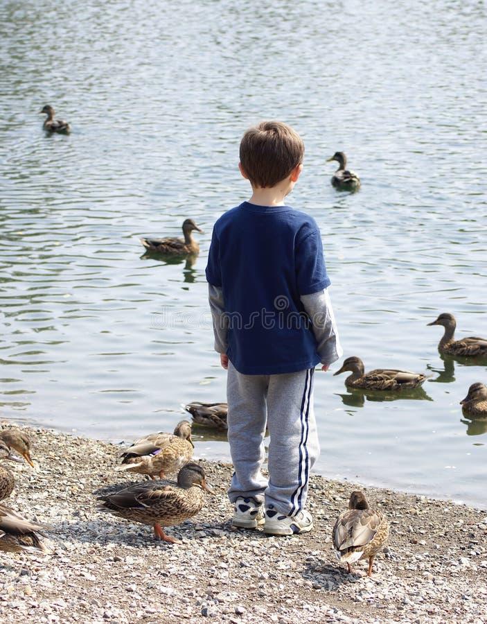 oglądać kaczki zdjęcia stock