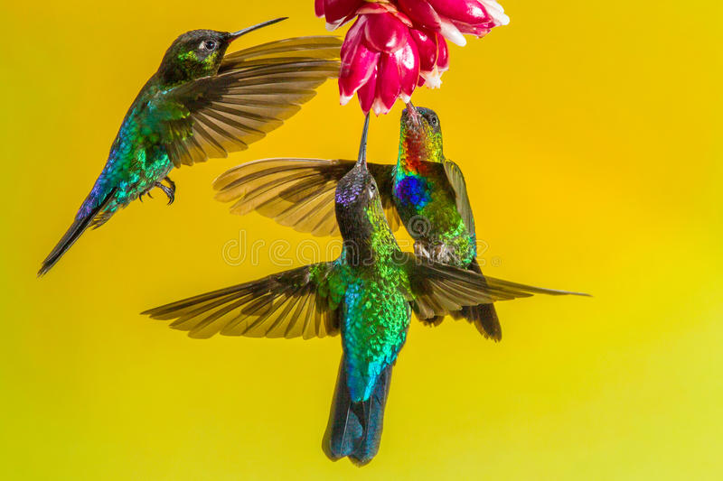 Ogniści Throated Hummingbirds fotografia stock