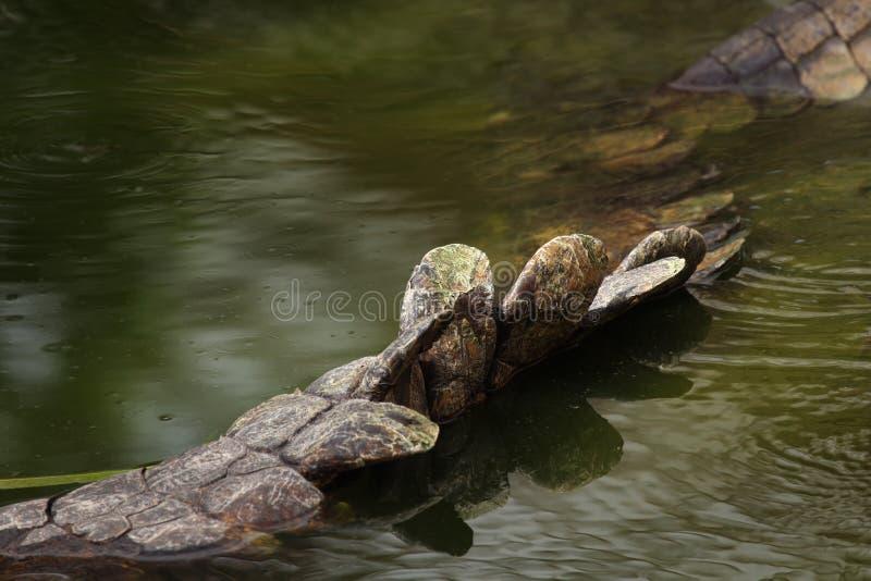 Ogon Nil krokodyla Crocodylus niloticus w wodzie obrazy royalty free