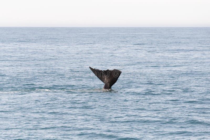Ogon od wieloryba iść w ocean w Kaikoura, Nowa Zelandia zdjęcie stock