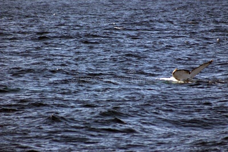 ogona humpback wieloryb zdjęcia stock